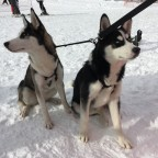 The cutest huskey couple ever!